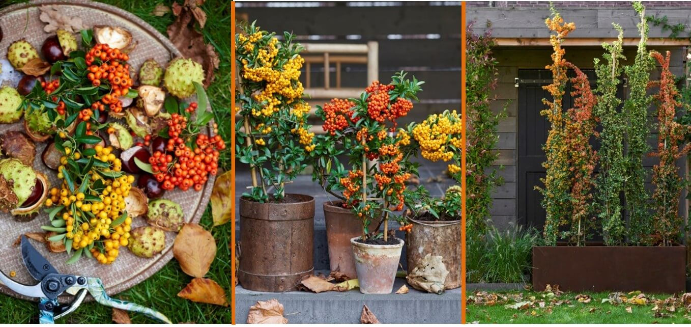 Pyracantha garden plants of the month October