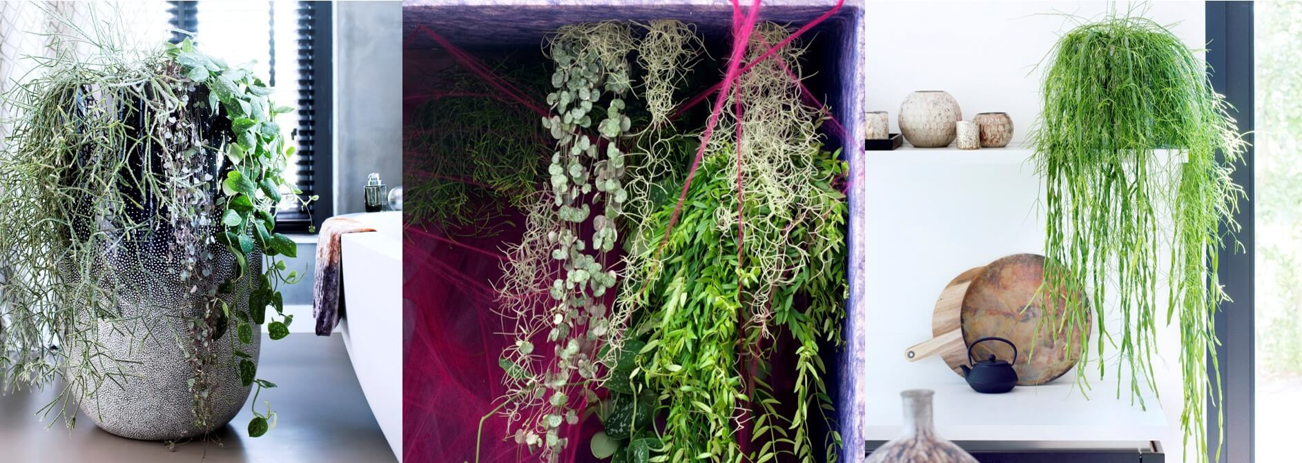 Houseplant of the month November: Rhipsalis