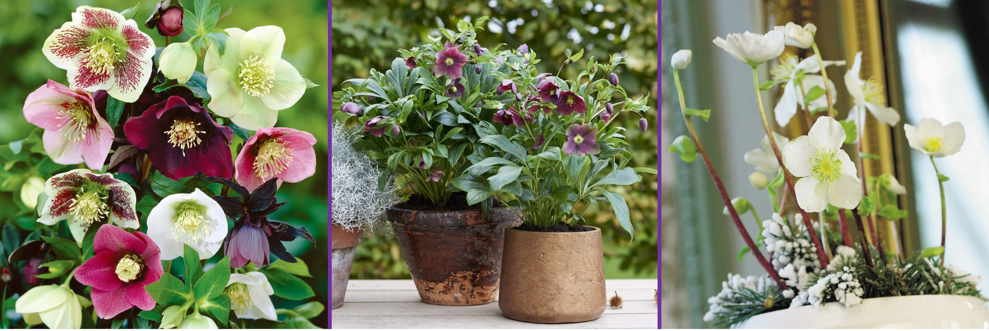 Garden Plant of the Month December: Helleborus