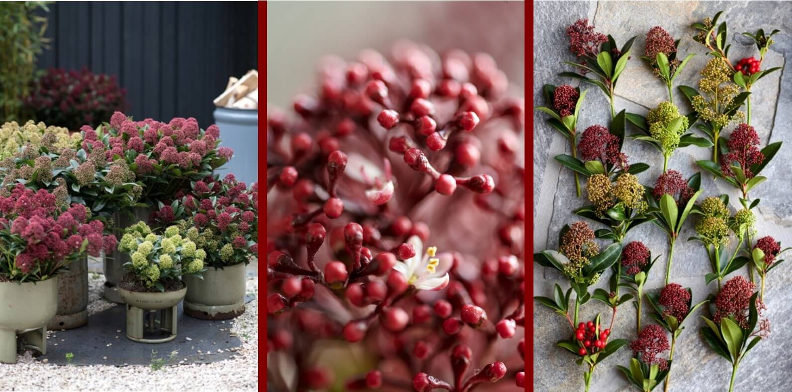Garden Plant of the month November: Skimmia