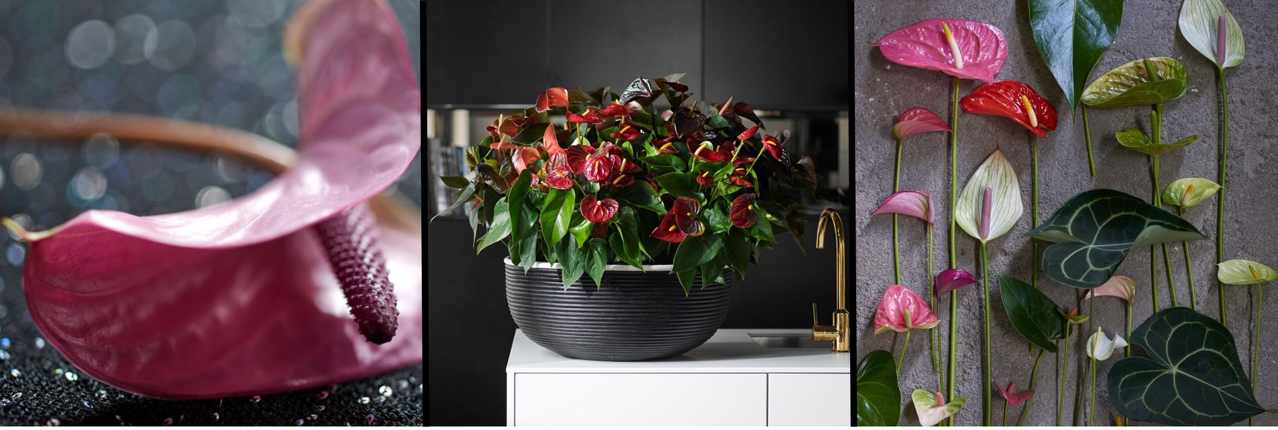December 2018: Anthurium Houseplant of the Month