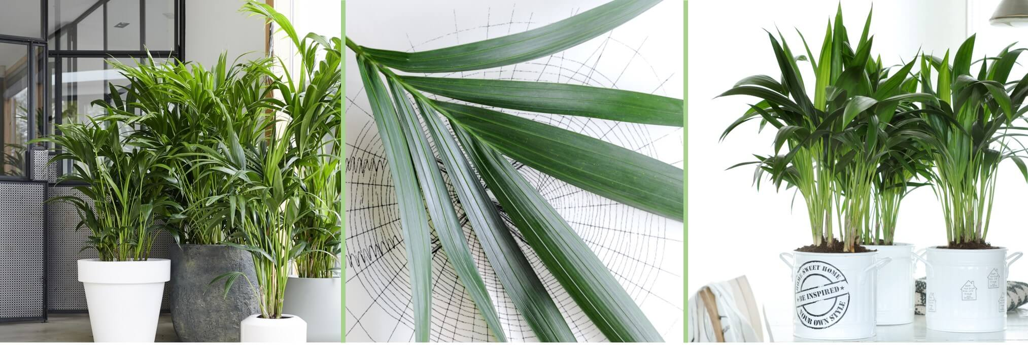 January 2019: Kentia Palm Houseplant of the Month