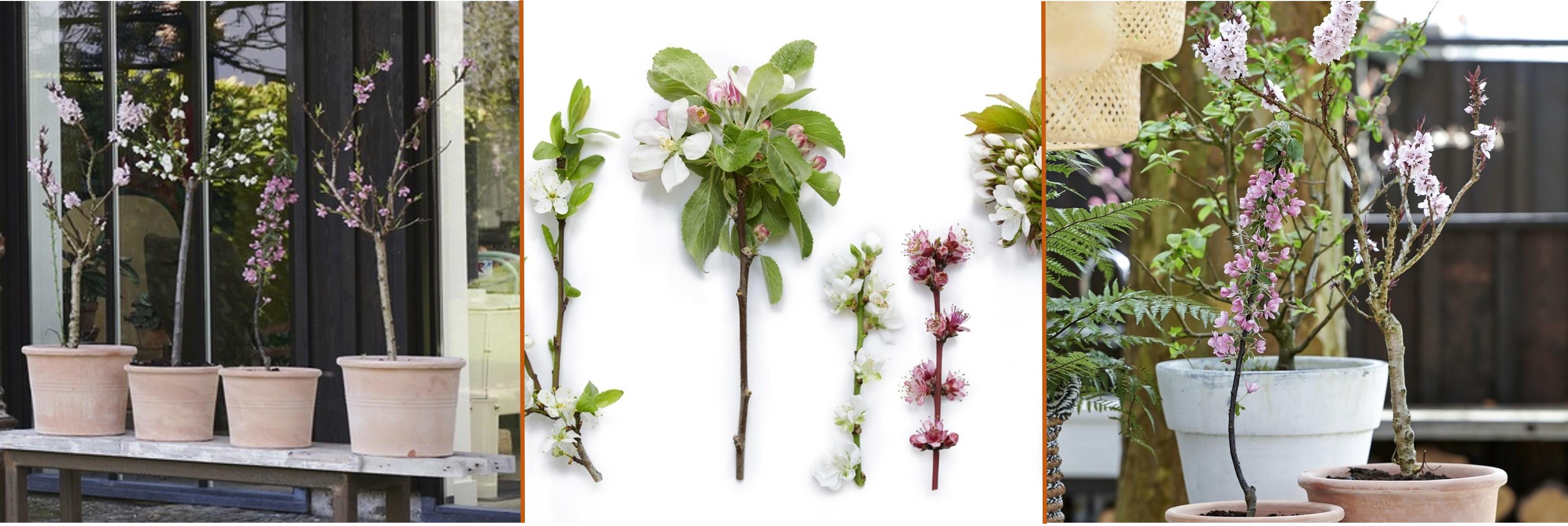 Plantes de jardin du mois, mars : les Arbres fruitiers
