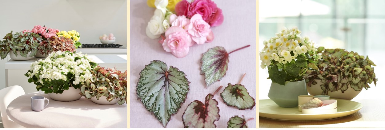 Begonia: Woonplant van de maand april