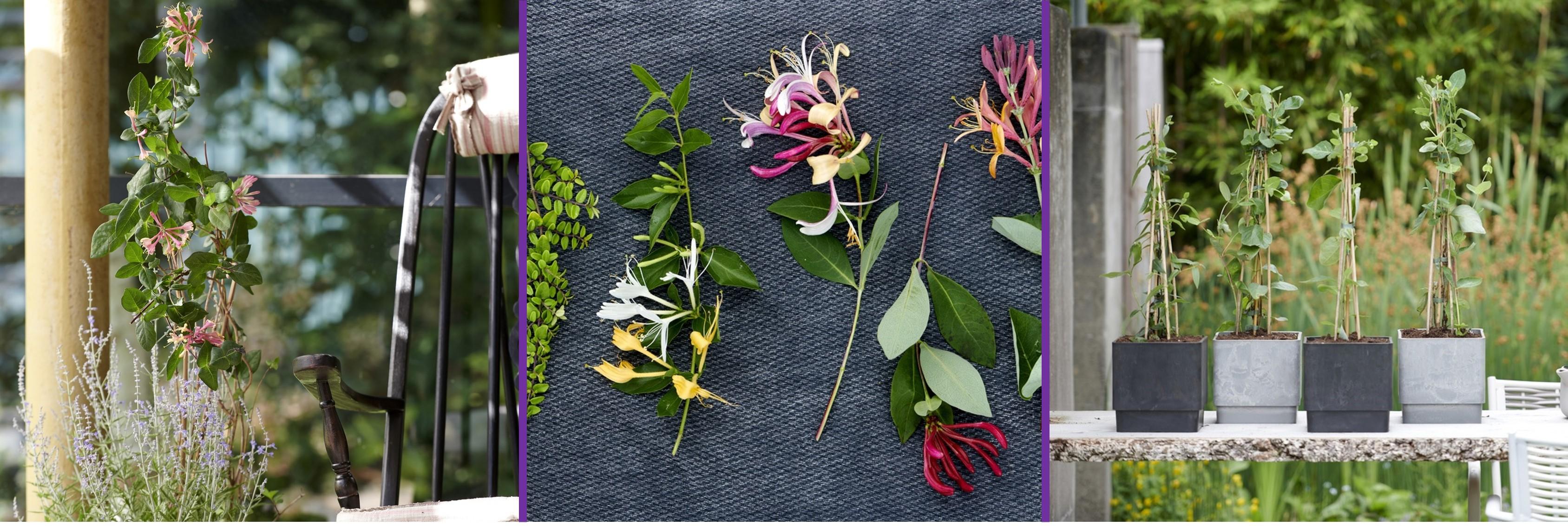 Gartenpflanze des Monats Juni: Geißblatt