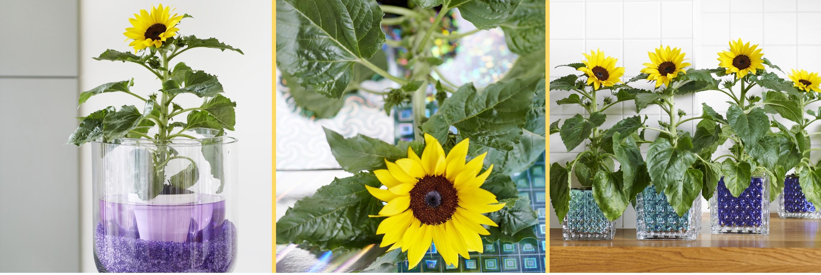 Sonnenblume Zimmerpflanze des Monats Juni 2019