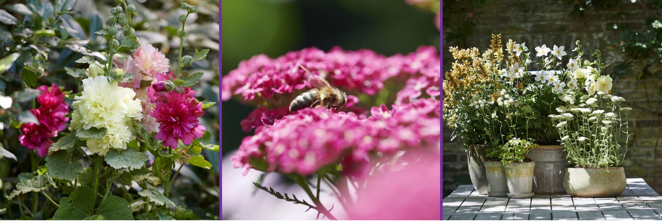 Bienenfreunde: Gartenpflanzen des Monats Juli 2019
