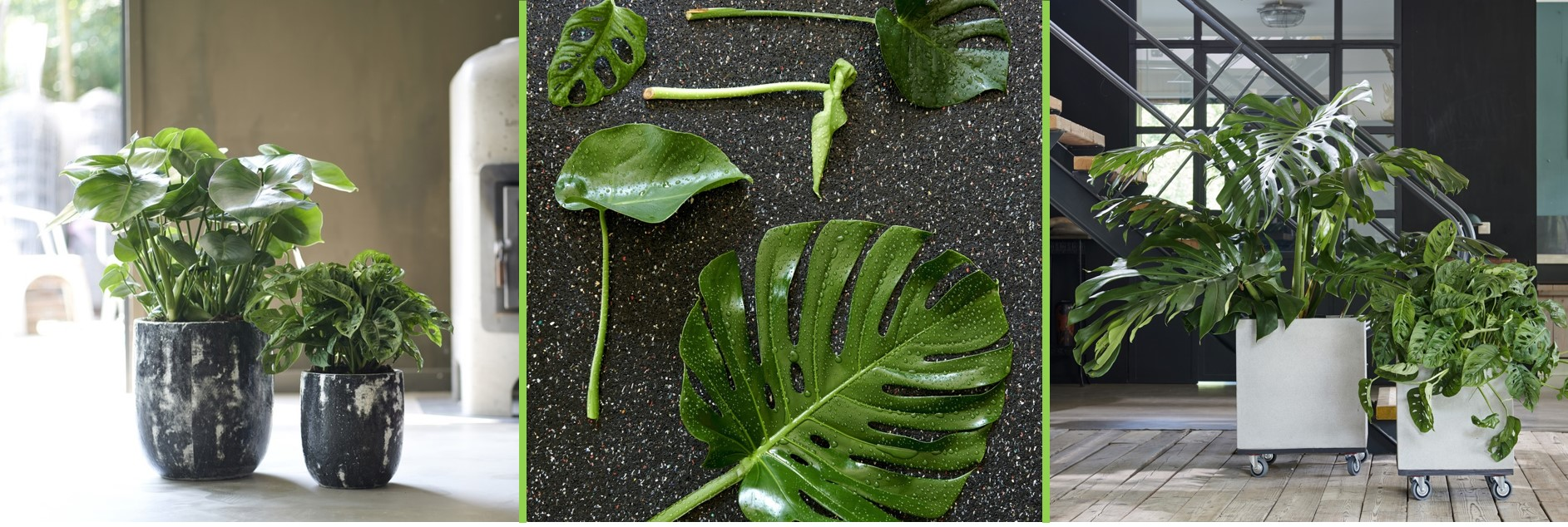 Monstera: July Houseplant of the Month
