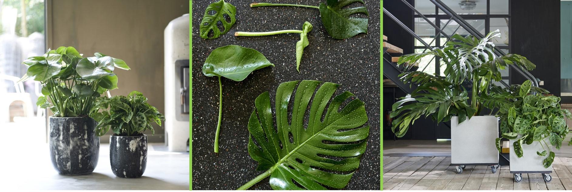 A chaque mois sa plante, juillet : le Monstera