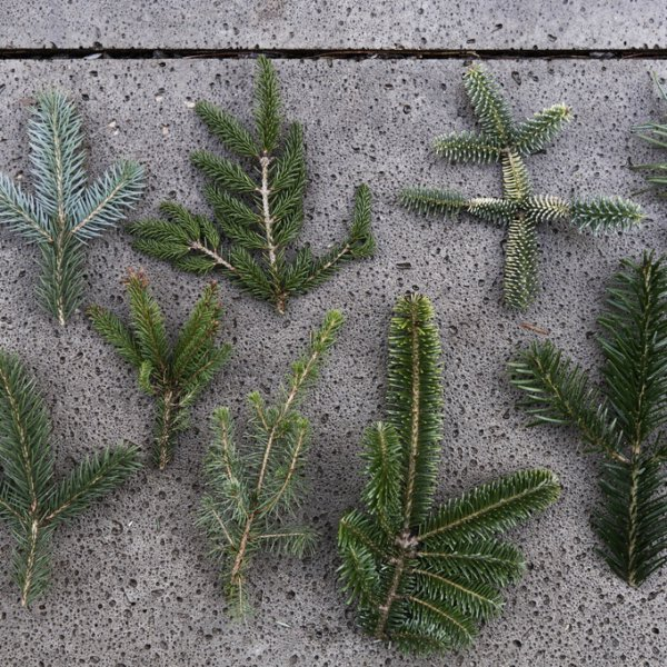 Festive pines